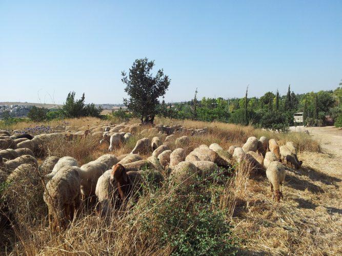 עדר הכבשים שיסייע במניעת התפשטות שריפות (צילום: דוברות עיריית מודיעין מכבים רעות)