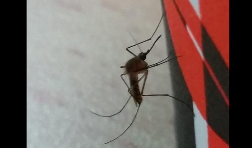 יתוש הקולקס (צילום: הגר סבטי, רשות הטבע והגנים)