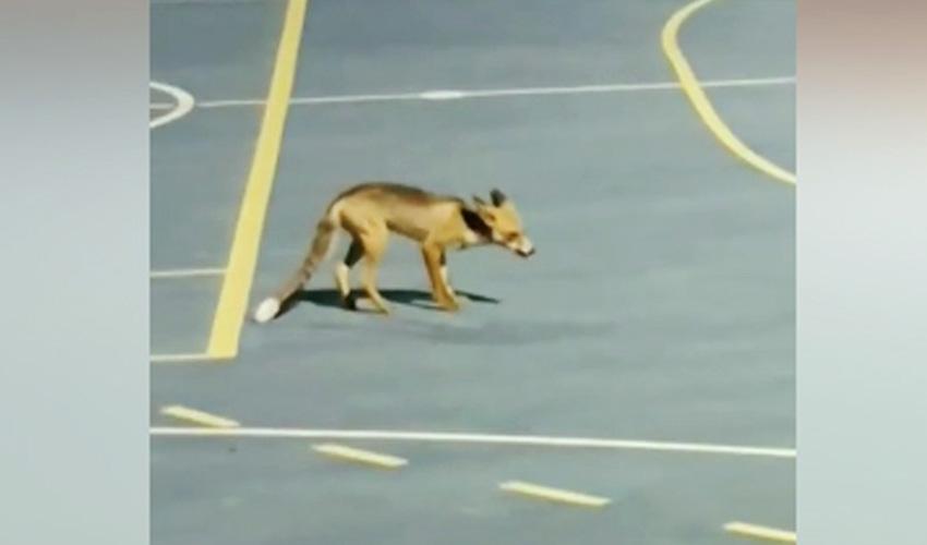 שועל במודיעין. מה מושך את השועלים לרחובות מודיעין?