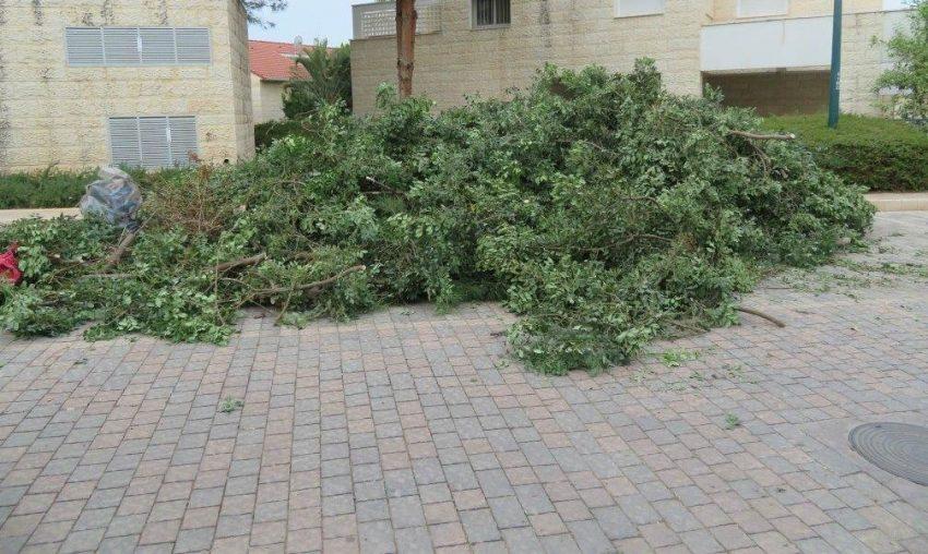 עץ החרוב (צילום: דוברות עיריית מודיעין מכבים רעות)