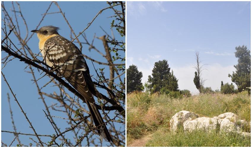 גבעת הברושים, קוקייה מצויה (צילומים: טלי קדמי, החברה להגנת הטבע, דורון אלפיה)