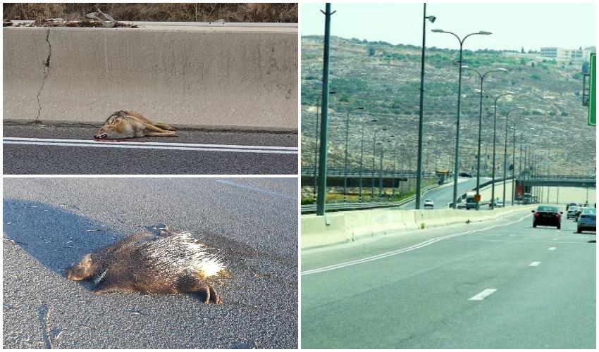 כביש 443, תן ודורבן (צילומים: ארנון בוסאני, גדעון בכר, תושבים משפיעים במודיעין)