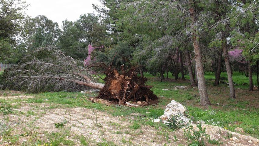 עצים קרסו בסערה (צילום: זוסיה פרקל)