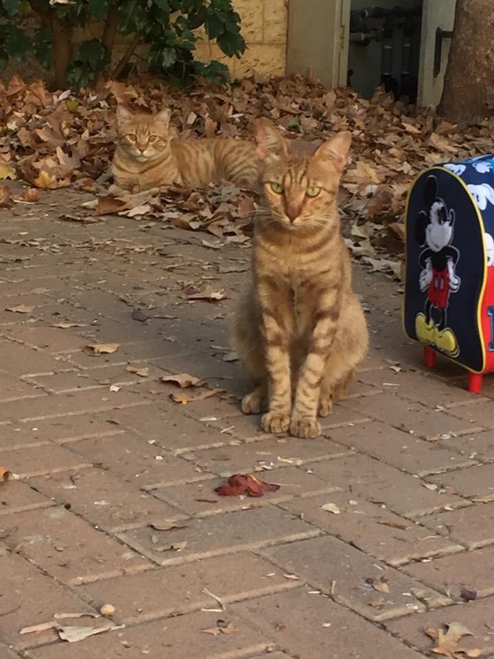חתולי הקהילה במודיעין (צילום: פרטי)