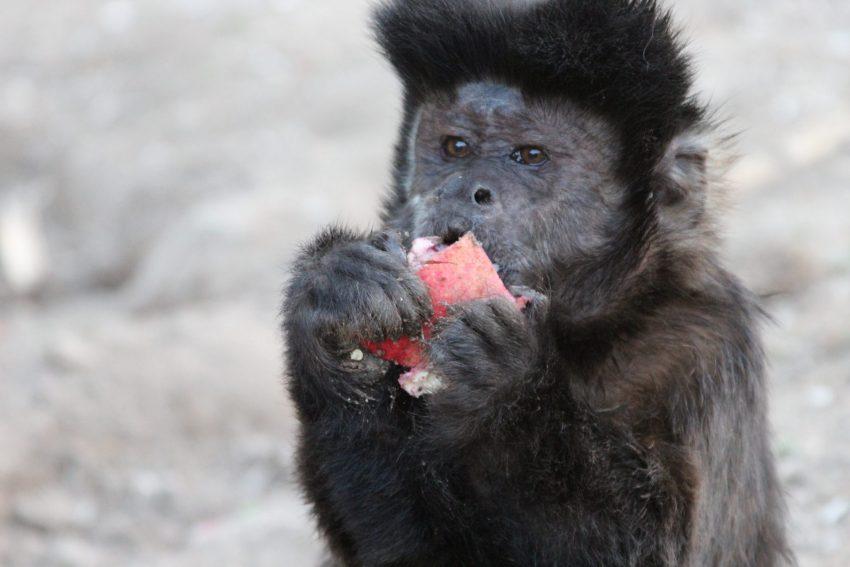 קוקס, קוף הקפוצ'ין שיצא ממקלט הקופים ולא חזר (צילום: מקלט הקופים)