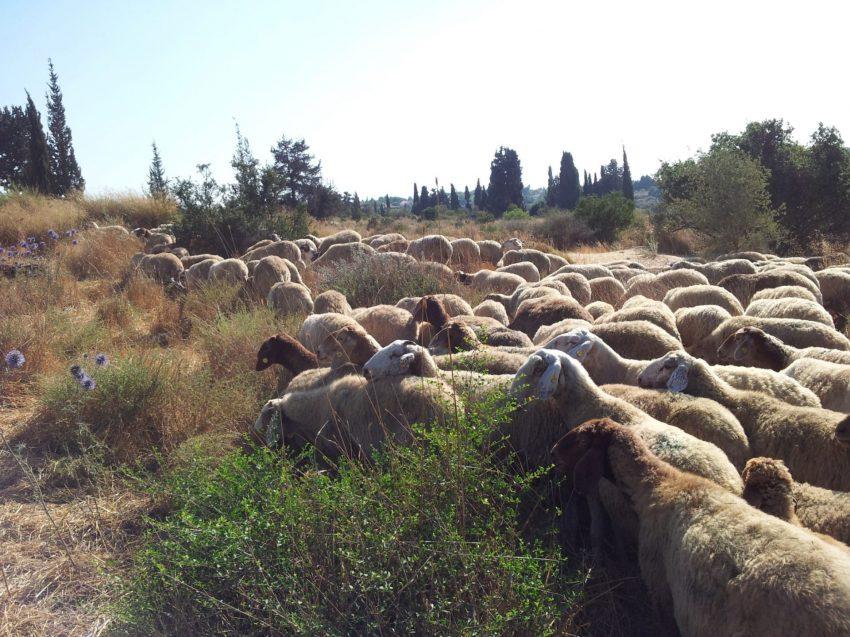 עדר הכבשים (צילום: דוברות עיריית מודיעין מכבים רעות)